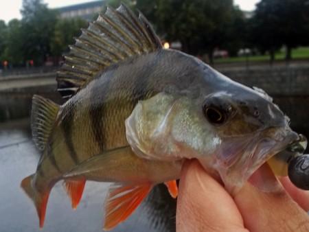 fiske_i_gavleån_Tommy_med_en_abborre